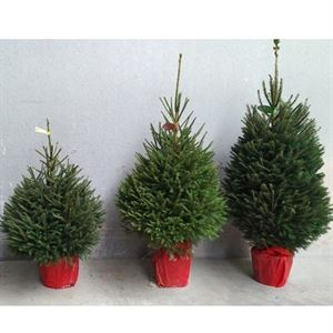 Picture of Picea Pot 125/150