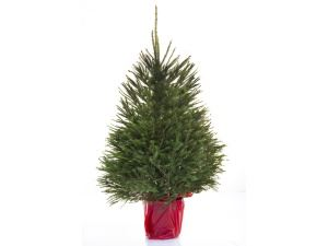 Picture of Picea in Pot